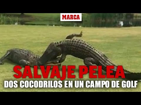 Video – Brutal fight between crocodile on a golf course